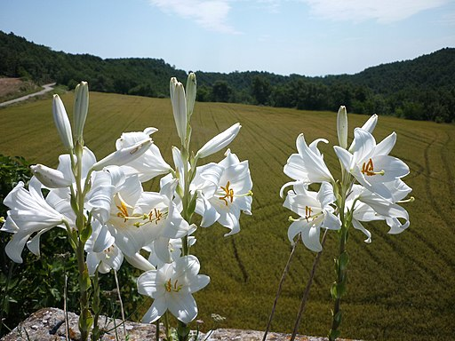LILIUM CANDIDUM - LLOBERA - IB-715 (Lliri blanc) per Isidre Blanc [CC BY-SA 4.0 (https://creativecommons.org/licenses/by-sa/4.0)], from Wikimedia Commons
