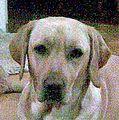 Labrador Lina.JPG