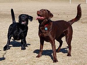 Two Labrador Retrievers