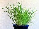 Lamarckia aurea20150524 3247.jpg