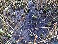 Lamiales - Mentha aquatica - 2.jpg