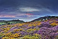 Land's End Heathland in Flower.jpg