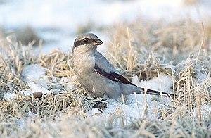 "Great grey shrike - L. e. ""melanopterus"" wintering in Poland"