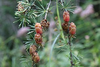 Larix laricina - Tamarack larch foliage and cones in August. The lighter brown cones are from the current season; the darker brown cones are mature cones from previous seasons.
