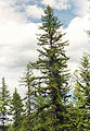 Larix occidentalis.jpg