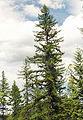 Larix occidentalis.jpg