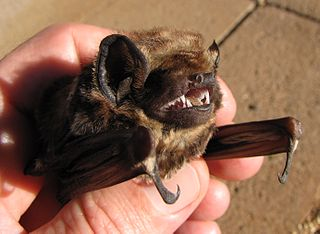 Hawaiian hoary bat subspecies of mammal