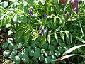 Lathyrus vernus cyaneus - Flickr - peganum.jpg