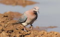 Laughing Dove, Spilopelia senegalensis, at Mapungubwe National Park, Limpopo, South Africa (18651124589).jpg