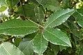 Laurus nobilis kz8.jpg