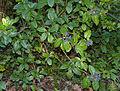 Laurustinus (Viburnum tinus) (15726368707).jpg