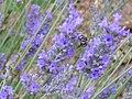 Lavandula latifolia EnfoqueEspiga 2010-6-25 DehesaBoyaldePuertollano.jpg