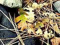 Leaves and Needles.jpg