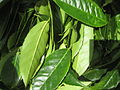 Leaves of Ilex guayusa.jpg