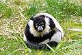 Lemur (26618776087).jpg