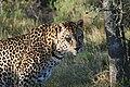 Leopard(Panthera Paradus Paradus)2008.JPG