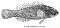 Leptoscarus vaigiensis Day.png