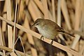 Lesser swamp warbler, Acrocephalus gracilirostris, at Marievale Nature Reserve, Gauteng, South Africa (40722475150).jpg