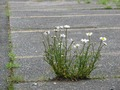 Leucanthemum vulgare out of concrete.TIF