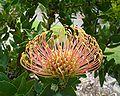 Leucospermum cordifolium flower 1.jpg