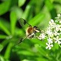 Leucozona lucorum - Blotch-winged Hoverfly.jpg