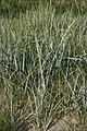 Leymus-arenarius.jpg