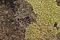 Lichen (42281092094).jpg