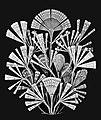 Licmophora flabellata-Haeckel.jpg
