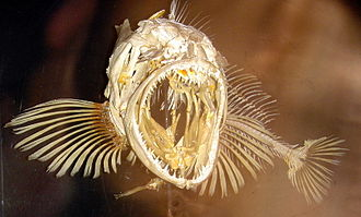 Lingcod - Skeleton of a lingcod
