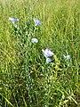 Linum hirsutum (subsp. hirsutum) sl48.jpg