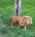 Lion of Jijel Zoo.jpg