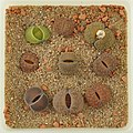 Lithops Collection - Top view - Feb. 2011 - (3).jpg