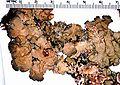 Lobaria scrobiculata-2.jpg