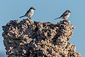 Loggerhead Shrikes perched on Tufa (35011747366).jpg