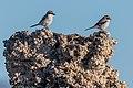 Loggerhead Shrikes perched on Tufa (35011747366).jpg