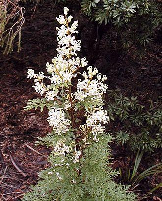 Grevilleoideae - Lomatia silaifolia