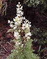 Lomatia silaifolia email.jpg