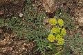 Lomatium mohavense 7799.JPG
