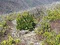 Lone Pine - panoramio.jpg