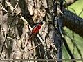 Long-tailed Minivet (Pericrocotus ethologus) (45679395455).jpg