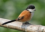 Long-tailed Shrike (Lanius schach- race tricolor) in Kolkata W IMG 3434.jpg