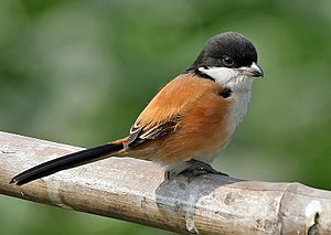 Long-tailed shrike - Black-headed tricolor in Kolkata, India