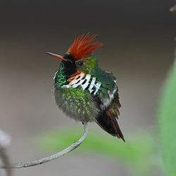 Lophornis magnificus - Frilled Coquette (male).jpg