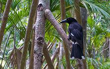 a black crow-like bird perched in a palm forest