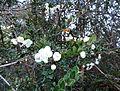 Luma apiculata kz9.jpg