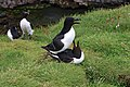 Lunga Treshnish Isles Alca torda 6.jpg