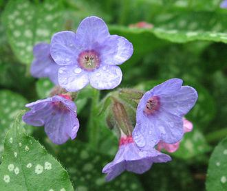 Pulmonaria - Flowers of Pulmonaria officinalis