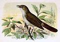 Luscinia megarhynchos 1873.jpg