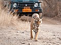 Luxury Tiger Tourism! (8159756904).jpg