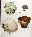 Lycoperdon bovista — Flora Batava — Volume v9.jpg